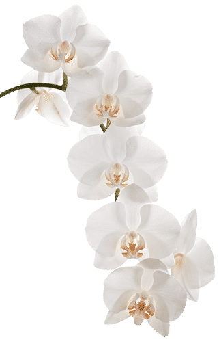 Orchidee – Gala